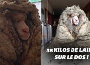 En Australie, ce mouton secouru avec 35 kilos de laine sur le