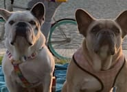 Lady Gaga se confie après le vol de ses deux bulldogs