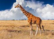 Una mujer caza una jirafa y posa con el corazón del animal por San