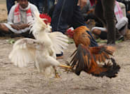 Rooster With Blade Tied To Its Leg Kills Owner During Illegal