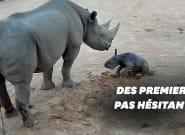 Ce bébé rhinocéros fait ses premiers pas dans un zoo
