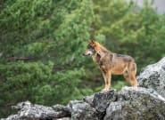 El lobo en España, ¿una amenaza o una especie a