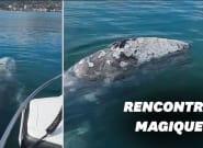 À Bormes-les-Mimosas, une baleine grise observée à l'entrée du