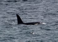 Two 'Rare And Beautiful' Killer Whales Spotted Off The Coast Of