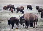 Pour tuer des bisons dans le parc de Grand Canyon, plus de 45.000 personnes se sont proposées en 2