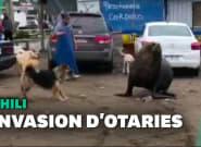 Au Chili, 300 otaries envahissent la ville de