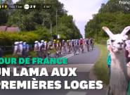 Tour de France: ce lama en bord de route n'est pas passé