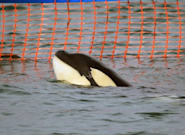 Stranded Baby Orca In New Zealand Sparks Nationwide Search For His