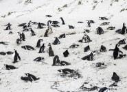 Bee Swarm Kills Dozens Of Endangered African Penguins, Officials
