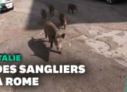 À Rome, l'invasion de sangliers perturbe la