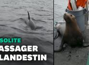 Au Canada, un lion de mer poursuivi par des orques trouve refuge sur un