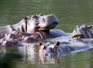 Court Rules Pablo Escobar's Cocaine Hippos Are Legally
