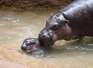 Toronto Zoo's Baby Pygmy Hippo Is Ready For Its Big