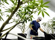 Canadian Cannabis Stocks Dive After Unimpressive Earnings