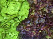 Adam Brothers Family Farms' Cauliflower, Types Of Green And Red Lettuce Recalled In