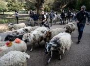 Aux Buttes-Chaumont à Paris, des bovins et moutons ont