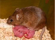 Ces bébés souris ont deux mamans, pas de papa et sont en bonne