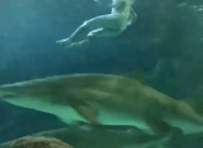 VIDEO: Toronto Skinny-Dipper Swims With Sharks At Ripley's Aquarium Of
