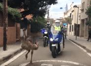 Persecución policial a un emú por las calles de Sant Cugat