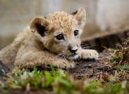 Un lionceau découvert dans une voiture de luxe sur les