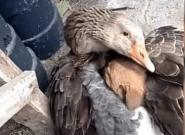 La imagen de un pato salvando del frío a un cachorro que da una lección de