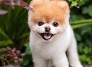 Boo, le chien le plus mignon du monde, est
