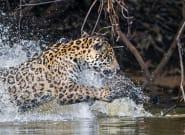 El inesperado ataque acuático de un jaguar a un