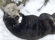 Vancouver Aquarium Video Proves Otters Are Really Good At Making