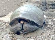 Une tortue géante que l'on pensait disparue découverte aux