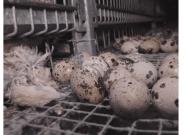 Vidéo L214 dans un élevage de cailles: l'enquête écarte tout