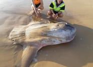 Un poisson-lune de 1,8 mètre échoué sur une plage