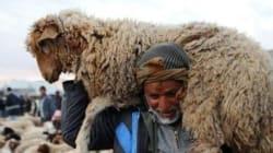 Après le fiasco des moutons roumains en 2012, bis repetita en 2013