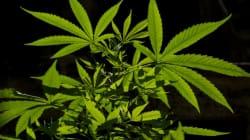 Vous ne devinerez jamais combien coûtera le gramme de cannabis légal en