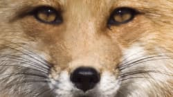 Pro Fox Hunting? It's Misinformation, Poor Logic and