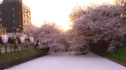 얼음 위에 쌓인 눈이 아니다. 벚꽃이다