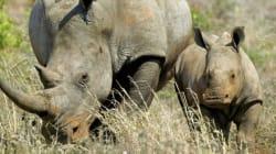60% des gros herbivores menacés
