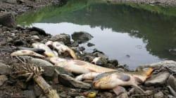 반월천 중류서 물고기 떼죽음: 당국 원인조사
