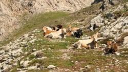 Des bovins algériens frappés par la fièvre