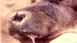 Le Maroc interdit tout produit animalier venant de