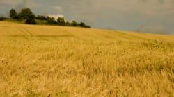 La France en rupture de blé de bonne