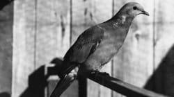 100년 전 9월 1일, 최후의 여행비둘기가