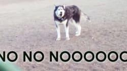 개 공원을 떠나기 싫은 허스키의