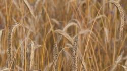 L'Algérie a importé près de 400.000 tonnes de blé tendre cette