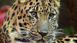 Un léopard plonge de 10 mètres pour attraper une antilope