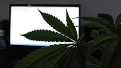 Cannabis légal en Uruguay: Premiers pas laborieux et avenir