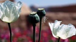 L'opium bat un nouveau record en Afghanistan avant le retrait de