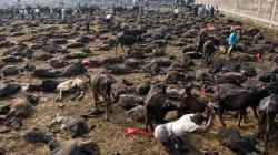 Συγκλονιστικές φωτογραφίες από τη θυσία 5.000 βουβαλιών στο
