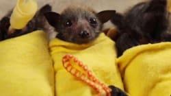 새끼 박쥐들의 치명적인
