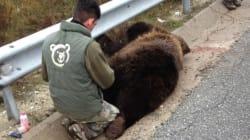 Τέταρτη αρκούδα νεκρή σε τροχαίο για το