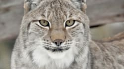 Wild Lynx Returning To Britain 'Is Typical Of Immigration Policy Gone Mad,' Says